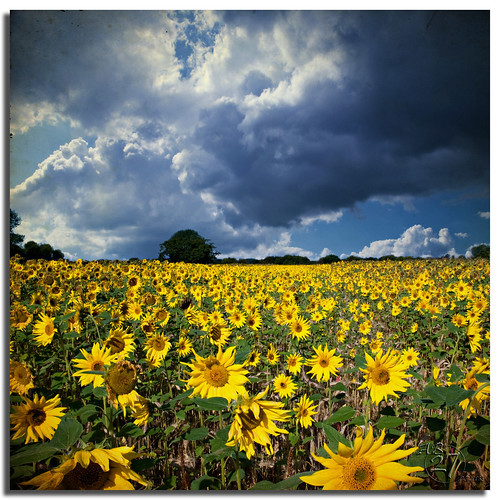 Random Sunflowers by Aaron_Bennett