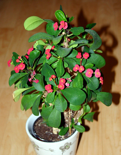 Crown of thorns flickr photo sharing for Crown of thorns plant