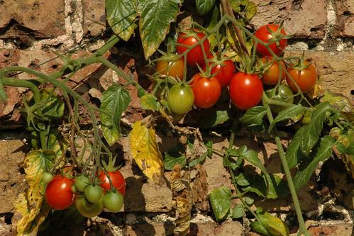 Tomatoes in the English sun