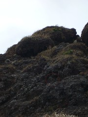 鳥海山のイワヒバリ