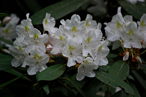 MOUNTAIN LAUREL 07
