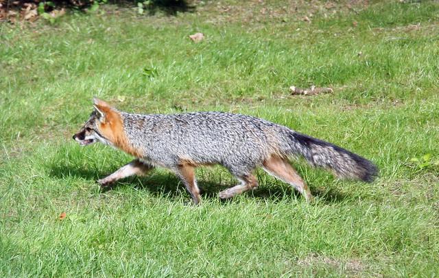 Gray fox in backyard | Flickr - Photo Sharing!