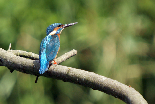 Kingfisher, Mere Sands Wood, July 2009