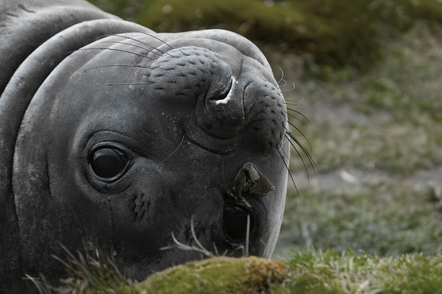 baby elephant seal sooo cute flickr photo sharing. Black Bedroom Furniture Sets. Home Design Ideas
