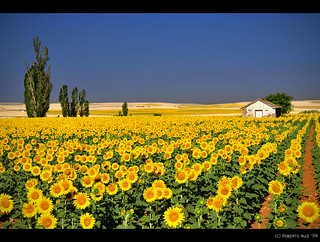 Dutch Van Gogh Sunflowers? No, Spanish fields...