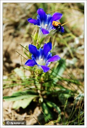 内蒙古植物照片-龙胆科龙胆属达乌里秦艽