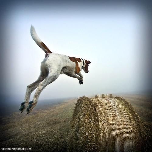 dog denmark fly jump danmark sigma1224mm haybale 1x1 haybales superdog jumpingdog bastian mydogcanfly buresø slagslundeskov gulbjergmose canon5dvoetmann canon5dvoetmannkangaroo