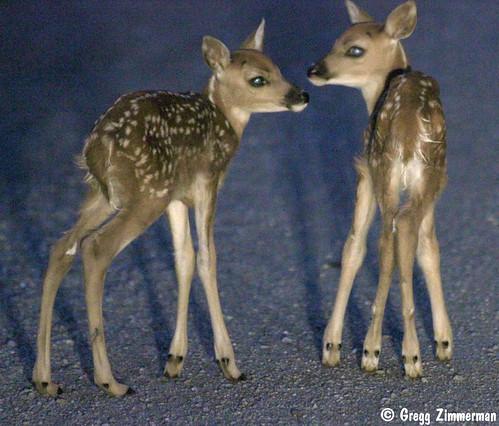 baby cute animal rural washington twins young deer spots fawn newborn molson okanogan dayold img3610 canont2i