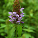 common selfheal - Photo (c) Peter Gorman, some rights reserved (CC BY-NC-SA)