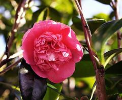 blossom(0.0), shrub(0.0), camellia sasanqua(1.0), flower(1.0), flora(1.0), camellia japonica(1.0), theaceae(1.0), pink(1.0),