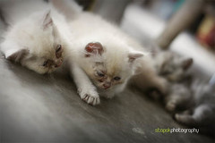 animal, kitten, small to medium-sized cats, pet, cat, carnivoran, whiskers, birman, himalayan,