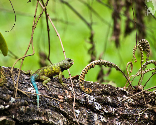 verde green scale bokeh reptile guatemala lizzard lagartija reptil reptilian escama pal1970