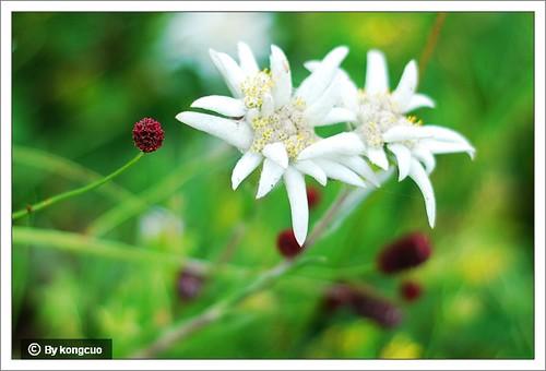 内蒙古植物照片-菊科火绒草属绢茸火绒草