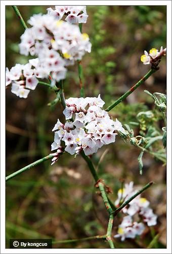 内蒙古植物照片--白花丹科补血草属二色补血草