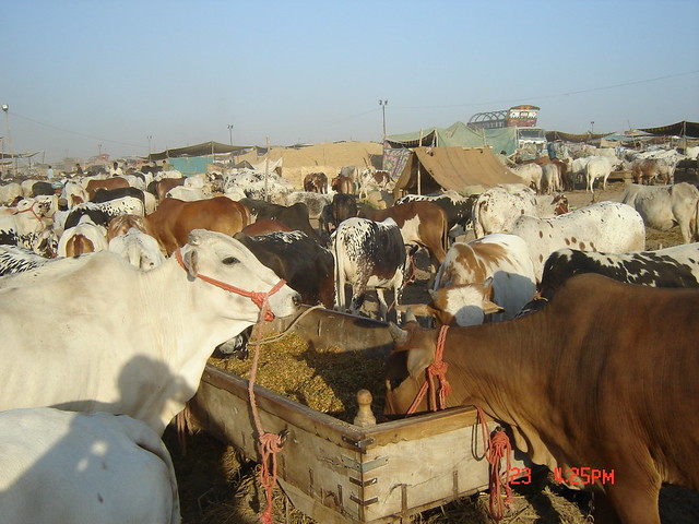 COW MANDI Karachi http://www.flickr.com/photos/36326679@N05/3883639258/