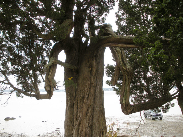 aged cedar tree