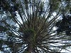 Bunya Pines crown