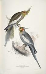 animal, wing, pet, fauna, drawing, cockatiel, illustration, beak, bird,