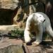 Small photo of Knut the Polar Bear
