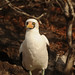 Nazca Booby Waits - Galapagos Islands