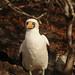 Nazca Booby Waits - Galapagos Islands