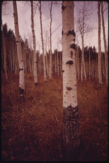 Aspen Trees Along East Rifle Creek, 10/1972
