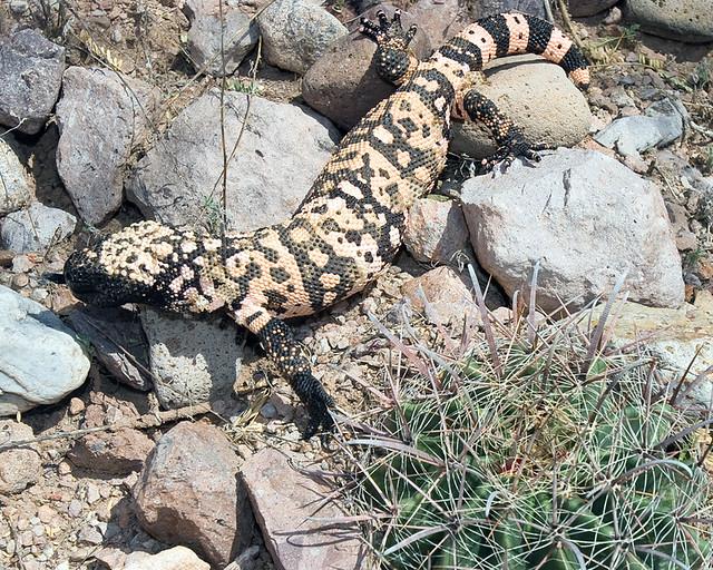 Heloderma suspectum suspectum, Gila Monster in habitat ...