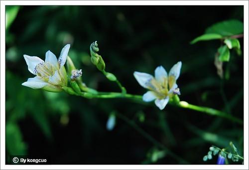 北京阳台山的常见野花-鸢尾科鸢尾属野鸢尾(马二确认)