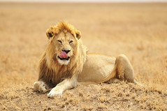 [Free Images] Animals 1, Lions ID:201204191000