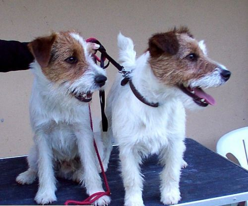 parson russell terrier vs jack russell terrier