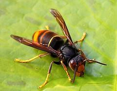 le frelon asiatique vespa velutina. Black Bedroom Furniture Sets. Home Design Ideas