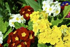 pansy(0.0), lantana camara(0.0), annual plant(1.0), flower(1.0), yellow(1.0), plant(1.0), wildflower(1.0), flora(1.0), floristry(1.0), primula(1.0), petal(1.0),