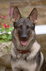 west siberian laika(0.0), dog breed(1.0), german shepherd dog(1.0), animal(1.0), dog(1.0), czechoslovakian wolfdog(1.0), dutch shepherd dog(1.0), pet(1.0), east siberian laika(1.0), norwegian elkhound(1.0), tamaskan dog(1.0), greenland dog(1.0), tervuren(1.0), belgian shepherd malinois(1.0), northern inuit dog(1.0), wolfdog(1.0), saarloos wolfdog(1.0), east-european shepherd(1.0), native american indian dog(1.0), jã¤mthund(1.0), shiloh shepherd dog(1.0), carnivoran(1.0),