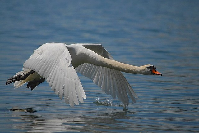 Swan fly