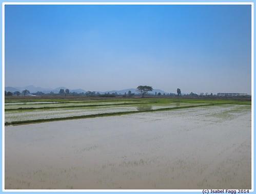 thailand rice riz rijstvelden