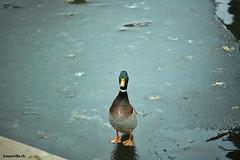 Danish duck