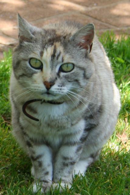 sweetest cat breed