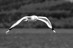 Scottish sea gull
