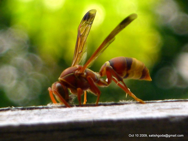 Nibbling Wasp - Side View