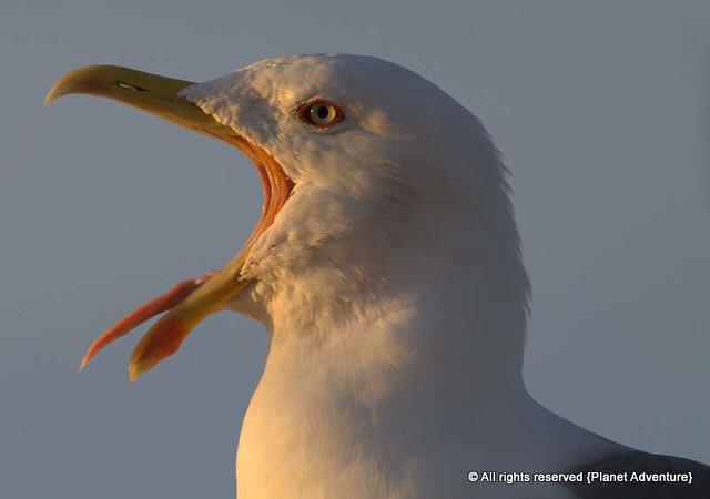 Seagull - Essaouira - Morocco