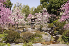 Plum Blossom しだれ梅