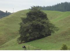 Waitomo Big Tree