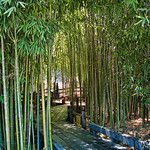 Walkway through bamboo grove at Huntington Gardens in Pasadena California