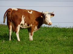 A cow, Orawka