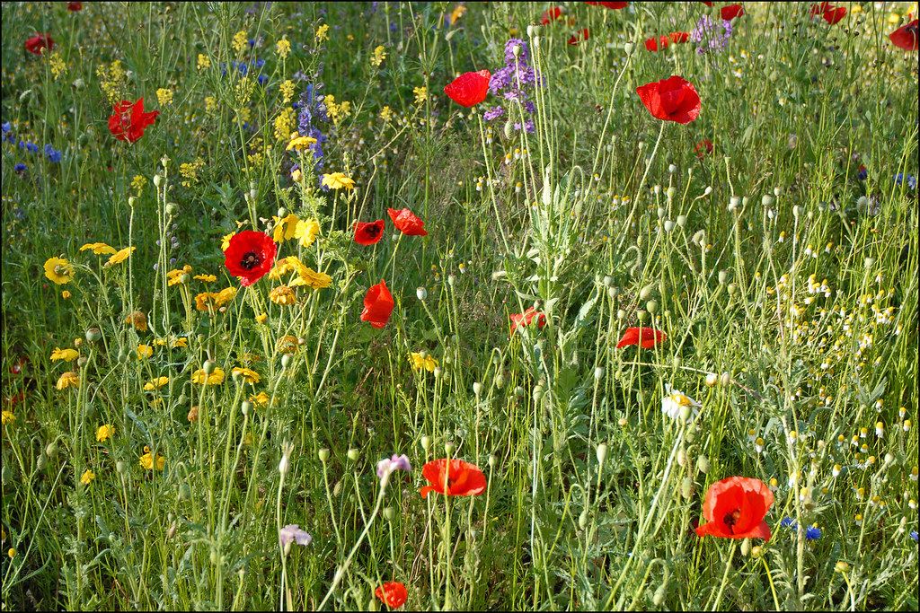 printemps fleurs des champs au printemps by dalbera flickr photo sharing. Black Bedroom Furniture Sets. Home Design Ideas