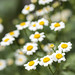 Impressionist Daisies [Front Page]