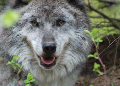 Maya the Wolf