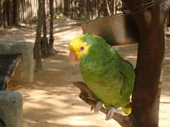 animal, lovebird, parrot, yellow, pet, green, fauna, parakeet, common pet parakeet, beak, bird,