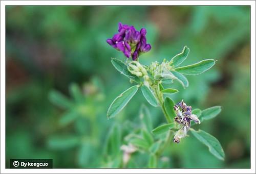 内蒙古植物照片-紫苜蓿,豆科苜蓿属