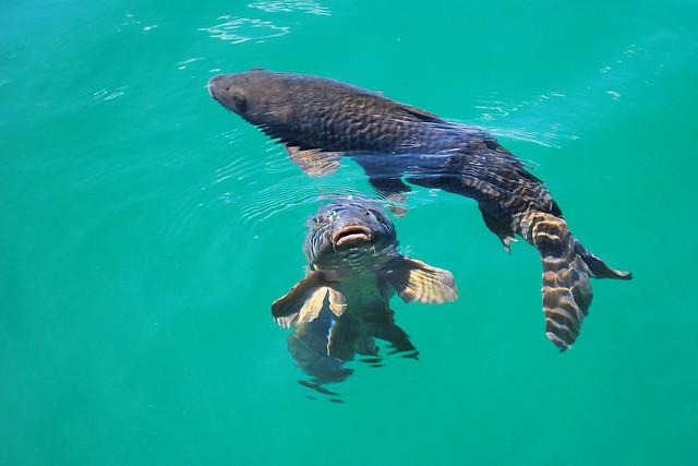 Lake Mead Fish Flickr Photo Sharing
